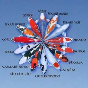 Types Of Koi Varieties