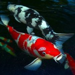 koi fish-living jewels